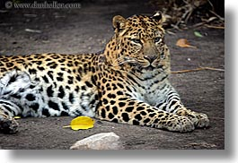 amur, animals, browns, california, cats, colors, horizontal, leopard, santa barbara, west coast, western usa, zoo, photograph
