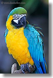 animals, birds, blues, california, colors, parrots, santa barbara, vertical, west coast, western usa, yellow, zoo, photograph