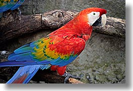 animals, birds, blues, california, colorful, colors, horizontal, parrots, red, santa barbara, west coast, western usa, zoo, photograph