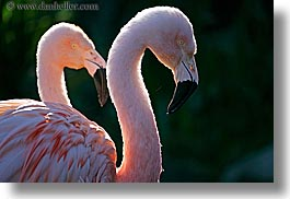 animals, birds, california, colors, flamingo, horizontal, pink, santa barbara, west coast, western usa, zoo, photograph