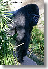 animals, black, california, colors, gorilla, primates, santa barbara, vertical, west coast, western usa, zoo, photograph