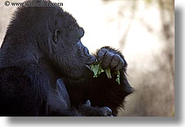 animals, black, california, colors, eating, gorilla, horizontal, leaves, primates, santa barbara, west coast, western usa, zoo, photograph