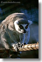 california, lemurs, santa barbara, vertical, west coast, western usa, zoo, photograph