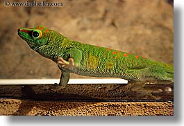 animals, california, days, gecko, giants, horizontal, madagascar, reptiles, santa barbara, west coast, western usa, zoo, photograph