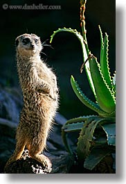 california, meerkat, santa barbara, vertical, west coast, western usa, zoo, photograph
