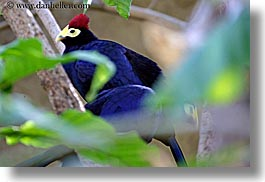 birds, california, crowns, horizontal, purple, red, santa barbara, west coast, western usa, zoo, photograph