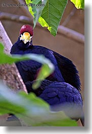 birds, california, crowns, purple, red, santa barbara, vertical, west coast, western usa, zoo, photograph
