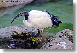 animals, babies, bald, birds, boys, california, childrens, colors, horizontal, ibis, people, sacred, santa barbara, west coast, western usa, white, zoo, photograph