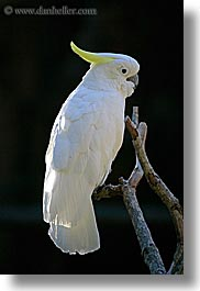animals, birds, california, cockatoo, colors, parrots, santa barbara, vertical, west coast, western usa, white, zoo, photograph