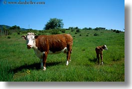 animals, california, cows, fields, horizontal, sonoma, west coast, western usa, photograph