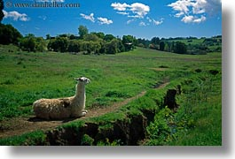 animals, california, grass, horizontal, llama, sonoma, west coast, western usa, photograph