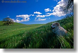 animals, california, horizontal, sammy, shades, sonoma, west coast, western usa, photograph