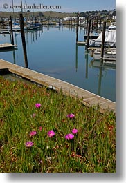 bodega bay, california, flowers, harbor, ice plants, sonoma, vertical, west coast, western usa, photograph