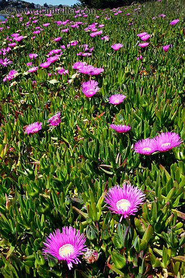 Purple ice plants on hill 2 for Purple flower shrub california