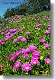 bodega bay, california, flowers, hills, ice plants, purple, sonoma, vertical, west coast, western usa, photograph