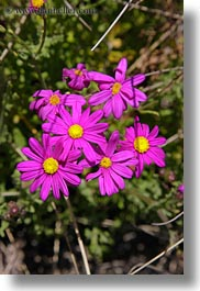 bodega bay, california, daisies, desert, flowers, purple, sonoma, vertical, west coast, western usa, yellow, photograph