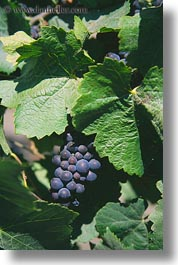 california, grapes, red, sonoma, vertical, west coast, western usa, photograph