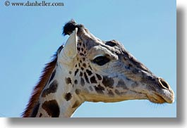 animals, big animals, california, giraffes, horizontal, safari west, sonoma, west coast, western usa, photograph