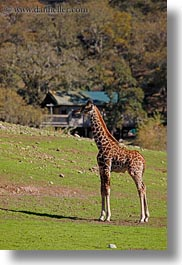 animals, big animals, california, giraffes, safari west, sonoma, vertical, west coast, western usa, photograph