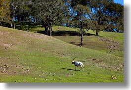 big animals, california, horizontal, horned, oryx, safari west, scimitar, sonoma, west coast, western usa, photograph