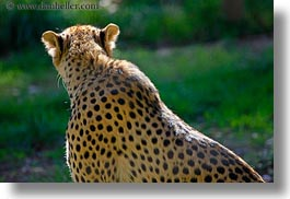 animals, big animals, california, cats, horizontal, leopard, safari west, sonoma, spotted, west coast, western usa, photograph