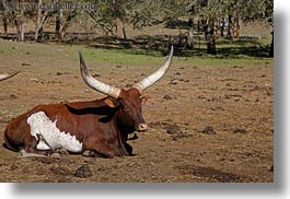 animals, big animals, california, cows, cowscows, horizontal, safari west, sonoma, watusi, west coast, western usa, photograph