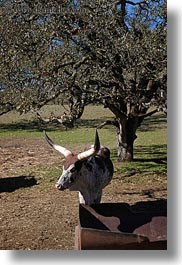 animals, big animals, california, cows, cowscows, safari west, sonoma, vertical, watusi, west coast, western usa, photograph