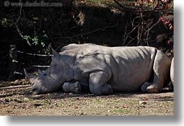 big animals, california, horizontal, rhinoceros, safari west, sonoma, west coast, western usa, white, photograph