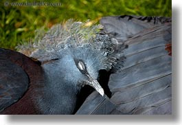 animals, birds, blues, california, crowned, horizontal, pigeons, safari west, sonoma, west coast, western usa, photograph