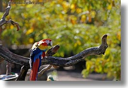 animals, birds, california, colorful, horizontal, parrots, safari west, sonoma, west coast, western usa, photograph