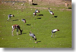 african, animals, birds, california, crane, crowns, east, horizontal, safari west, sonoma, west coast, western usa, photograph