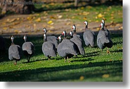 animals, birds, california, crested, guineafowl, horizontal, kenya, safari west, sonoma, west coast, western usa, photograph