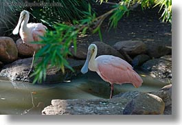 animals, birds, california, horizontal, roseate, safari west, sonoma, spoonbill, west coast, western usa, photograph