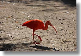 animals, birds, california, horizontal, ibis, safari west, scarlet, sonoma, west coast, western usa, photograph