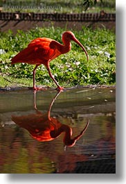 animals, birds, california, ibis, safari west, scarlet, sonoma, vertical, west coast, western usa, photograph