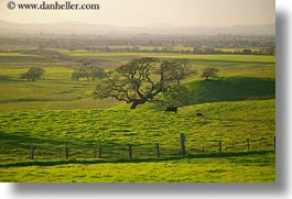 california, cows, green, hills, horizontal, scenics, sonoma, west coast, western usa, photograph