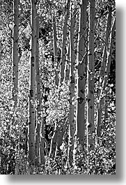 aspens, black and white, california, fall foliage, trees, vertical, virginia lakes, west coast, western usa, photograph