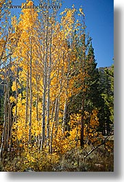 aspens, california, fall foliage, trees, vertical, virginia lakes, west coast, western usa, yellow, photograph