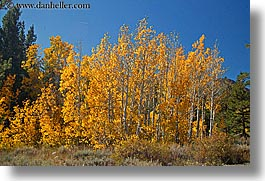 aspens, california, fall foliage, horizontal, trees, virginia lakes, west coast, western usa, yellow, photograph