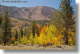 aspens, california, fall foliage, horizontal, mountains, trees, virginia lakes, west coast, western usa, yellow, photograph