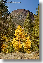 aspens, california, fall foliage, mountains, trees, vertical, virginia lakes, west coast, western usa, yellow, photograph
