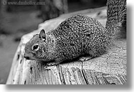 animals, black and white, california, horizontal, squirrel, west coast, western usa, yosemite, photograph