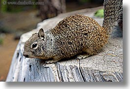 animals, california, horizontal, squirrel, west coast, western usa, yosemite, photograph