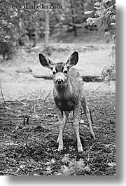animals, black and white, california, deer, standing, vertical, west coast, western usa, yosemite, photograph