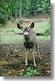 animals, california, deer, standing, vertical, west coast, western usa, yosemite, photograph