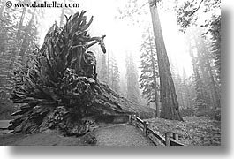black and white, california, fallen, fog, horizontal, nature, paths, plants, redwood trees, redwoods, sequoia, trees, west coast, western usa, yosemite, photograph