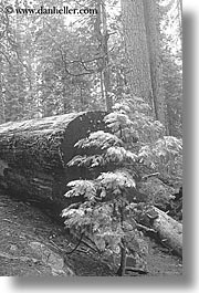 black and white, california, nature, plants, redwood trees, redwoods, sapling, sequoia, trees, vertical, west coast, western usa, yosemite, photograph