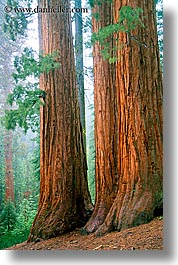 california, nature, plants, redwood trees, redwoods, sequoia, trees, trio, vertical, west coast, western usa, yosemite, photograph