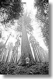 black and white, california, fog, nature, people, plants, redwood trees, redwoods, sequoia, trees, umbrellas, vertical, west coast, western usa, yosemite, photograph