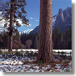 california, nature, plants, snow, square format, trees, west coast, western usa, yosemite, photograph